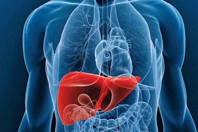 Hígado bioartificial para tratar la insuficiencia hepática aguda